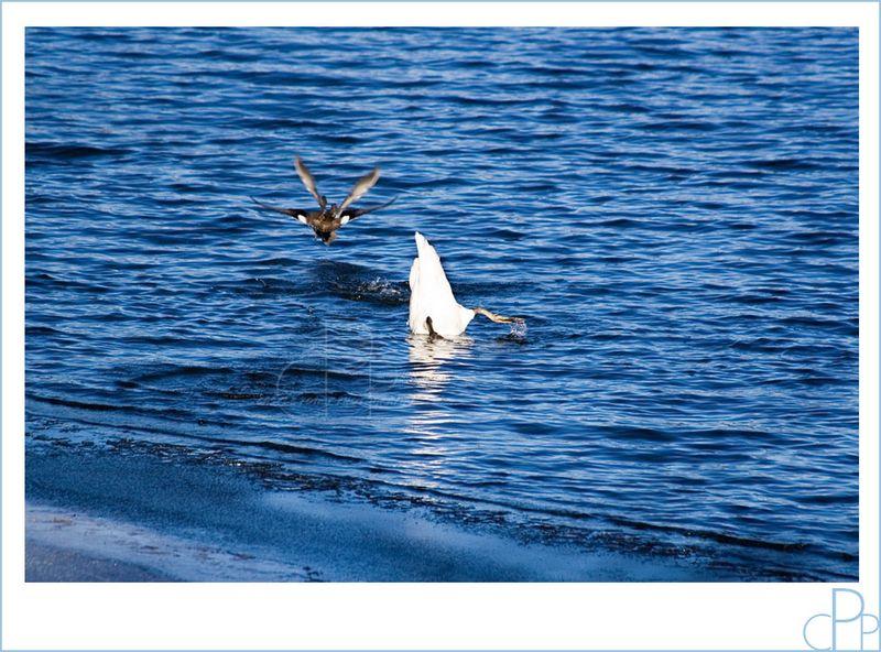 Swan_dive